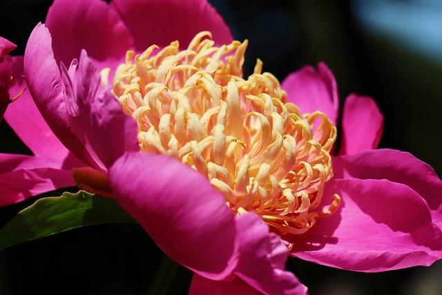 Peony, Stamens, Blossom, Bloom, Pink, Petals, Flower