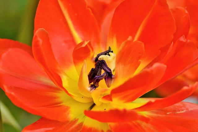 Tulip, Schnittblume, Spring Flowers, Stamp, Stamens
