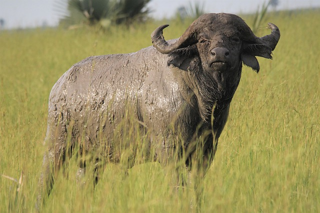 African Buffalo, Standing, Statue, Mud, Sun, Reflection