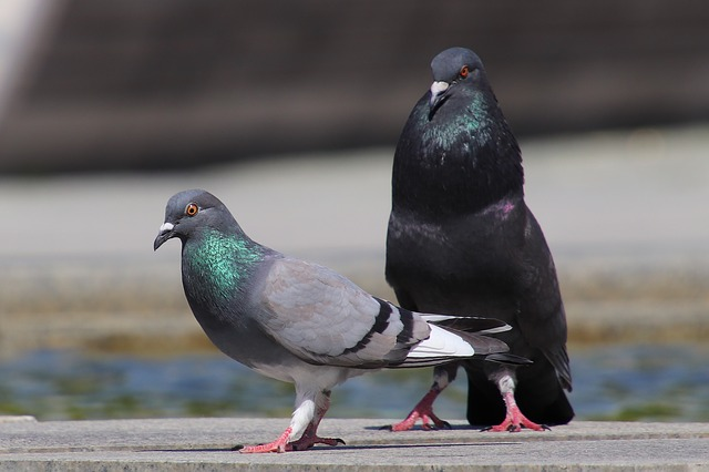 Pigeons, Birds, Animal, Nature, Animal World, Standing