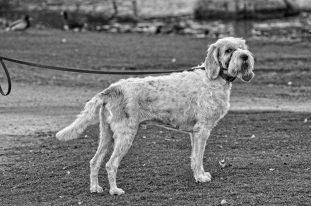 Dog, Canine, Animal, Mammal, Pet, Domestic, Standing