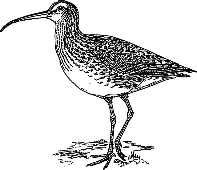 Curlew, Long, Beak, Standing, Feathers, Legs