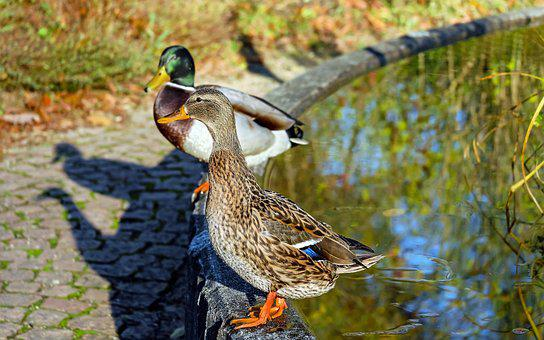 Duck, Water Bird, Poultry, Mallard, Animal, Stands