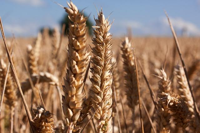 Ear, Cereals, Infructescence, Staple Food, Grain