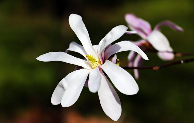 Star Magnolie, Star Magnolia, Flower, Plant, Flowers