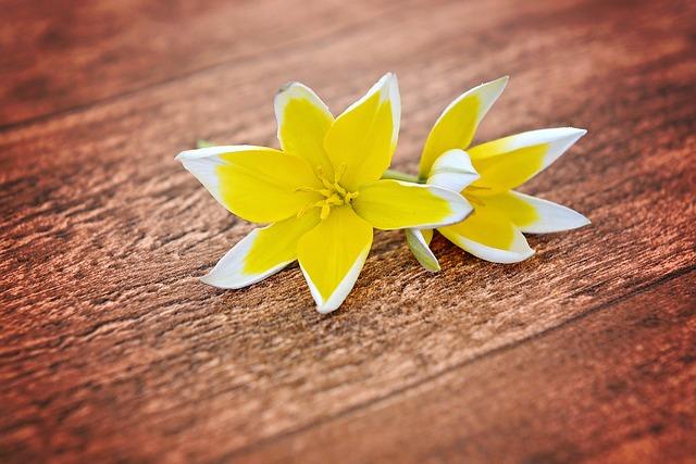 Flowers, Star Tulips, Small Star Tulips, Yellow-white