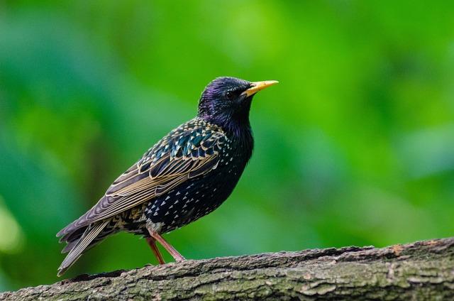 Animal, Starling, Avian, Bird, Feathers, Nature