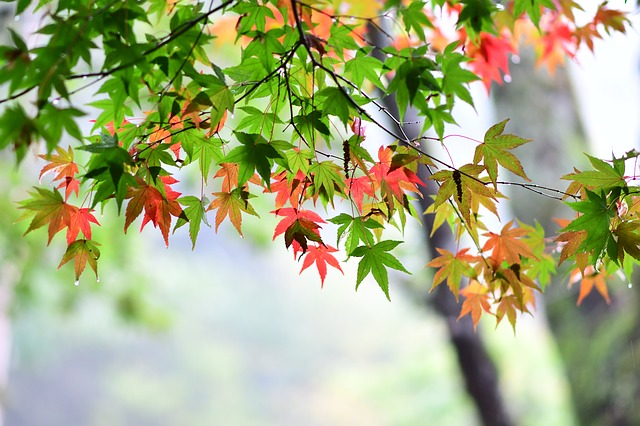 Maple Leaf, Red Maple, Station Bend