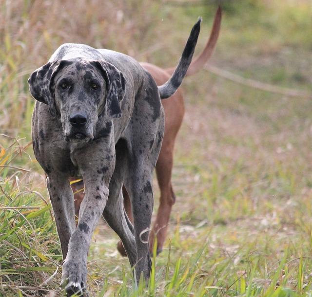 Dog, Great Dane, Purebred, Stealth, Walking, Power, Big