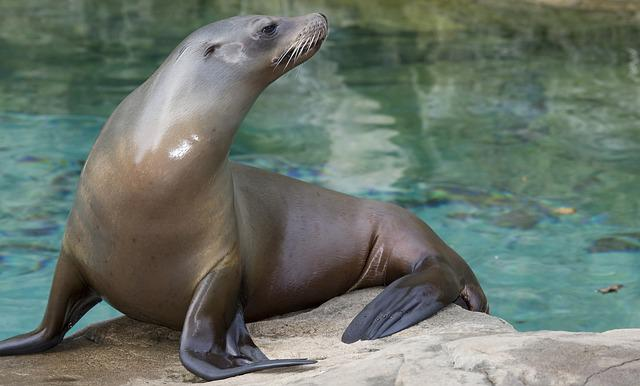 The North Pacific Sea Lions, Steinmann Sea Lions