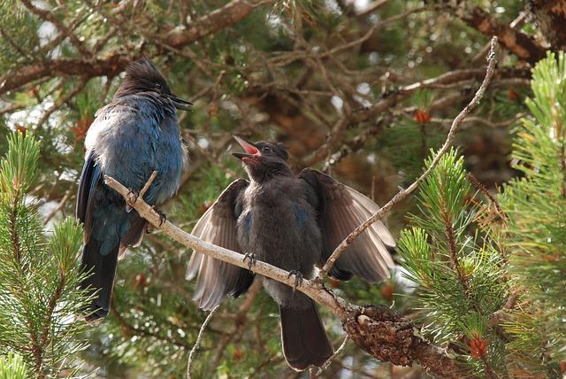 Nature, Bird, Young, Blue, Eurasian Jay, Stellar Jay
