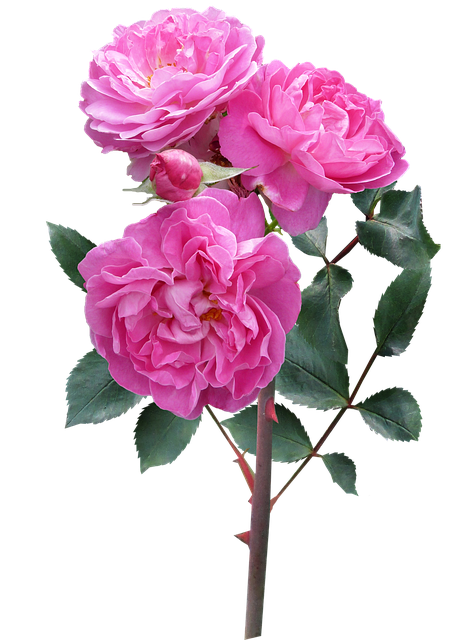 Rose, Flower, Stem Deep Pink Blooms