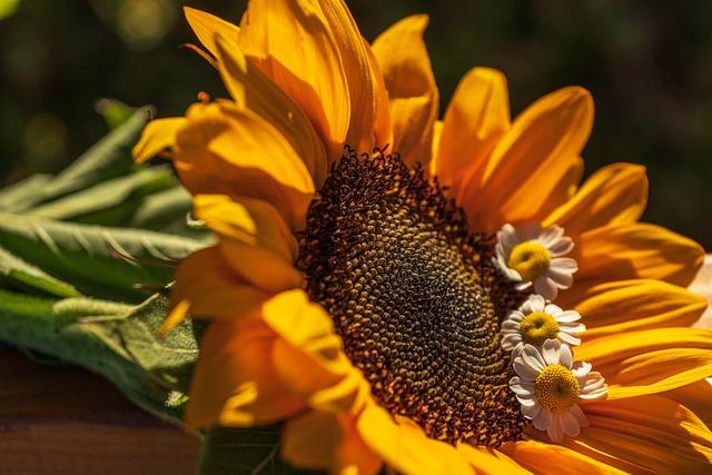 Sunflower, Still Life, Summer, Chamomile, Petals