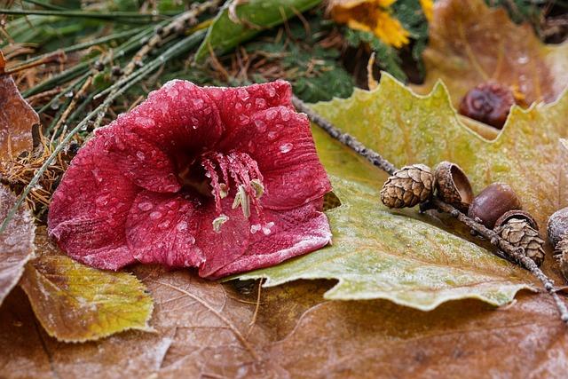 Still Life, Frozen, Frost, Amaryllis, Red Flower