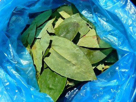 Coca Leaves, Coca, Erythroxylum Coca, Crop, Stimulant