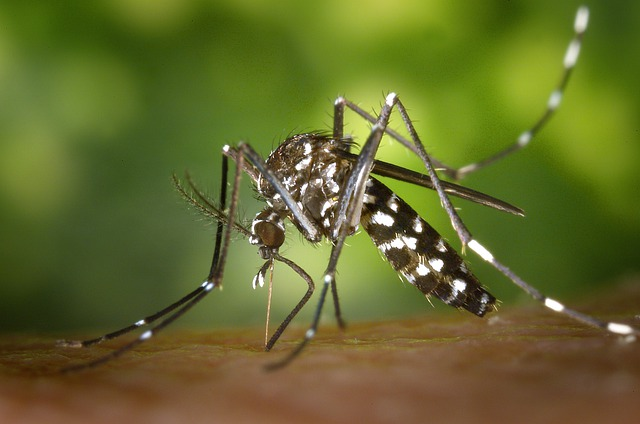 Tiger Mosquito, Mosquito, Asian Tigermücke, Sting