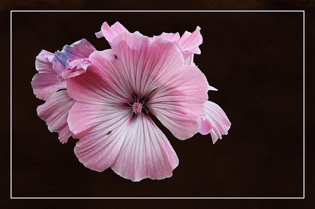 Mallow, Stock Rose, Blossom, Bloom, Hollyhock Flower