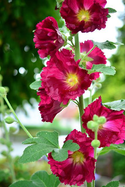 Stock Rose, Hollyhock, Poplar Garden Rose, Common Peony