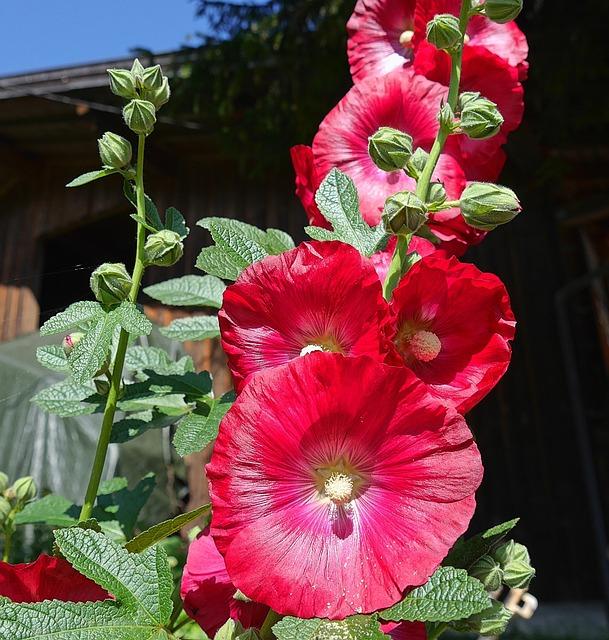 Stock Rose, Flower, Red