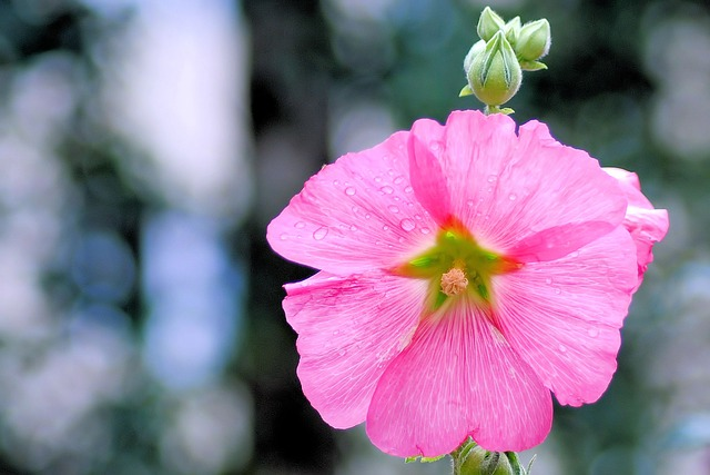Mallow, Hollyhock Flower, Stock Rose, Garden, Summer
