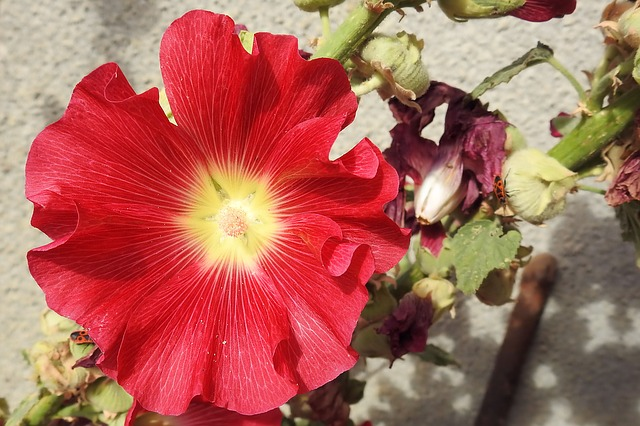Mallow, Hollyhock Flower, Stock Rose, Red, Flower