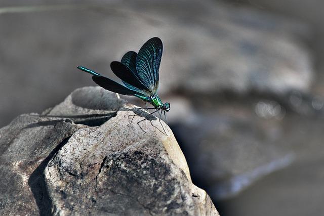 Dragonfly, Fauna, Stone, River, Source, Animal, Animals