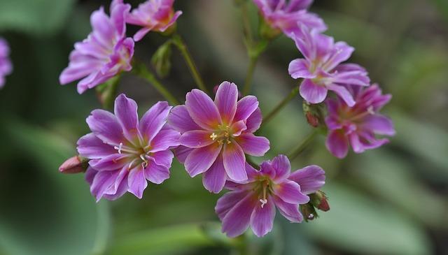 Bitterwurz, Flower, Plant, Stone Garden, Flowers, Pink