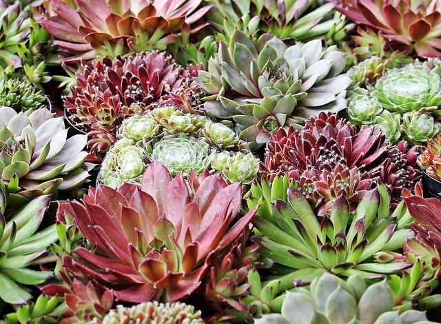 Stone Crop, Plant, Ground Cover, Stone Garden, Garden
