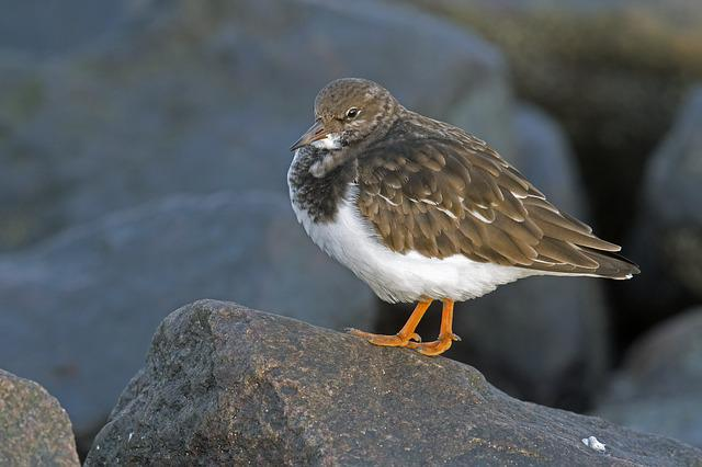 Stone Waltz, Arenaria Interpres, Beach Birds