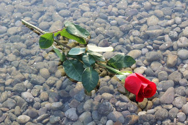 Red Rose On Ice, Frozen Lake, Transparent, Stones