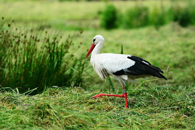 Stork, Bird, Animal, Ciconia Ciconia, Feather, Plumage