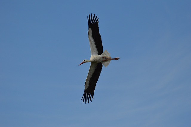 Stork, Fly, Elegant, Feather, Bird, Plumage, Nature
