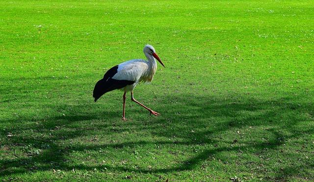 Stork, Animal, Plumage, Meadow, Eastern, Bill