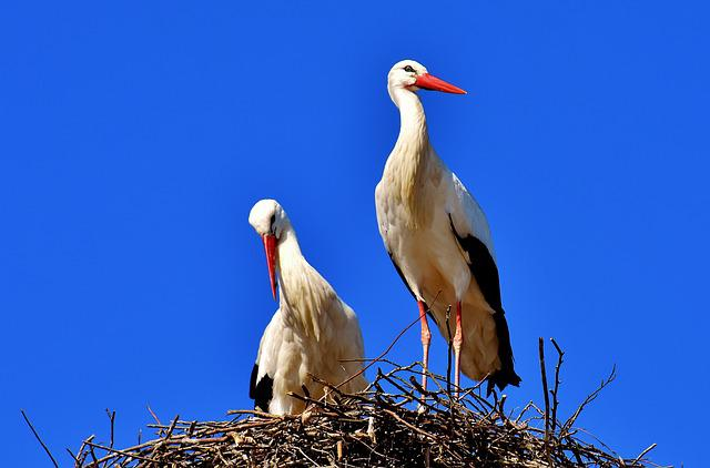 Storks, Pair, Birds, Stork, Flying, Rattle Stork, Bill