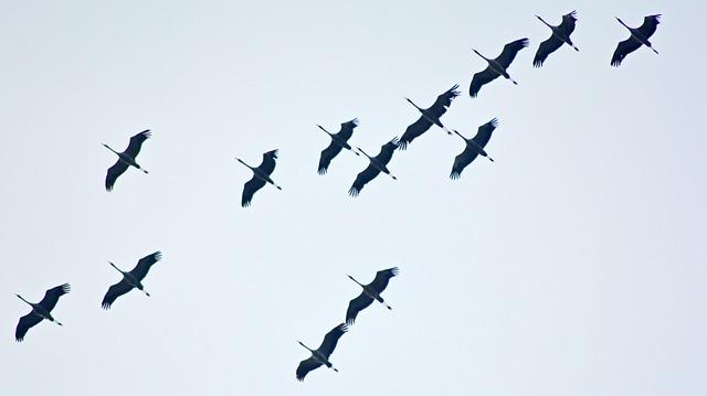 Migratory Birds, Stork, Storks, Stork Flight, Flight