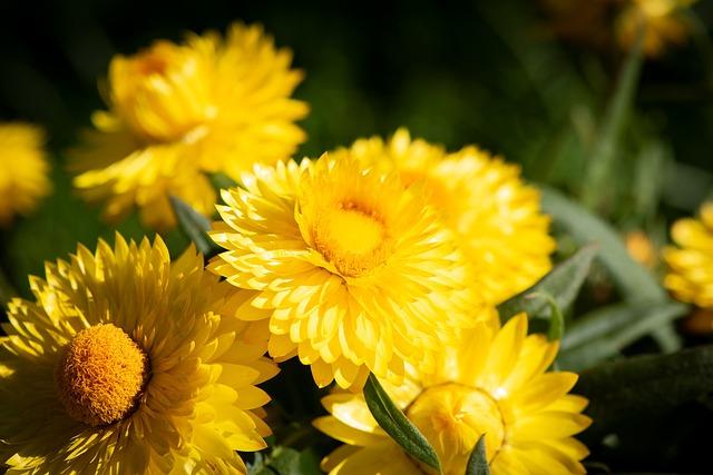 Straw Flowers, Flowers, Yellow, Garden, Balcony, Nature