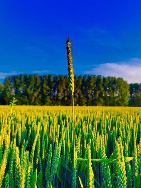 Different, Grain, Growth, Field, Farmer, Straw