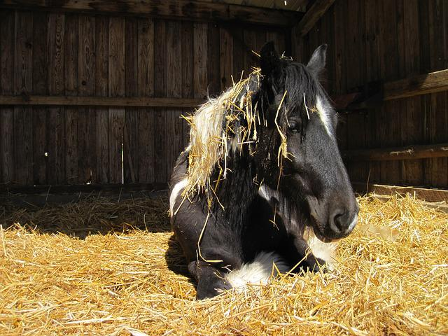 Horse, Pinto, Black, White, Tinker, Straw, Stall