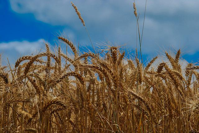Triticum, Cereal, Straw, Harvest, Bread, Seed, Field