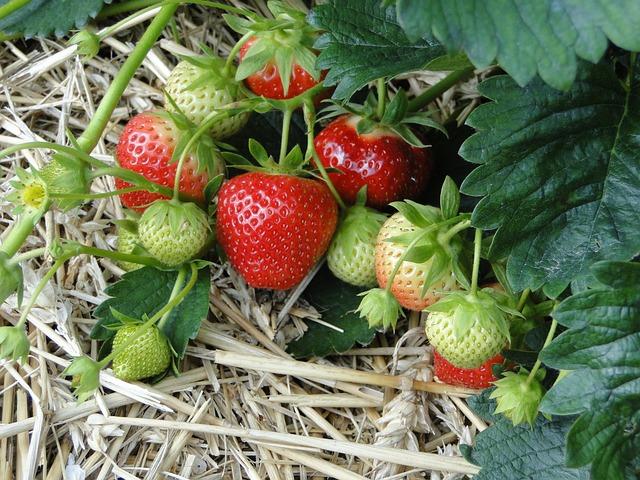 Strawberries, Red, Sweet, Plant, Field, Straw Bedding