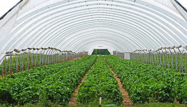 Strawberry Field, Strawberry Culture, Covered