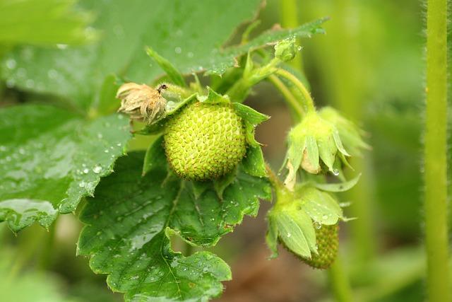 Strawberries, Maturation, Green, Fruit, Strawberry