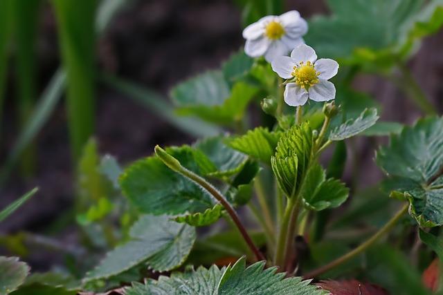 Nature, Plant, Strawberry Plant, Strawberry Flowers