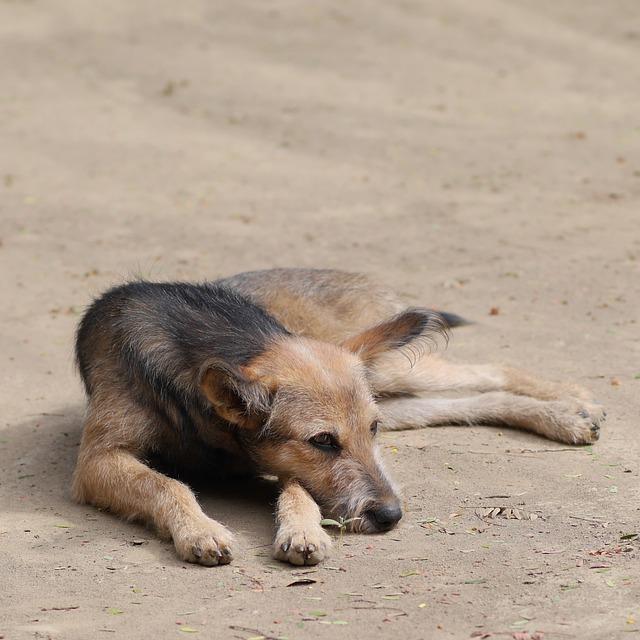 Dog, Strays, Pet, Wild, Concerns, Tired, Old, Animal