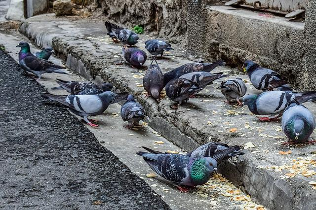 Street, Old City, Birds, Pigeons, Animal, Eating, Decay