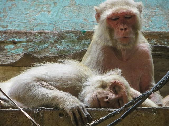 Monkey, Varanasi, India, Street, Animals, City, Primacy