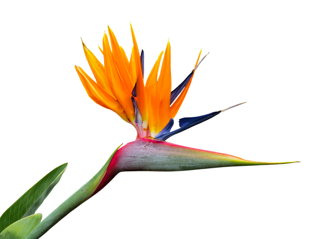 Caudata, Strelitzia, Bird Of Paradise Flower, Isolated