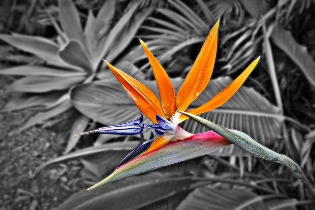 Bird Of Paradise, Strelitzia Reginae, Flower, Tropical