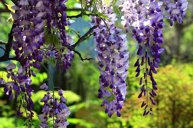 Wisteria, String, Summer, Swaying, Natural, Landscape
