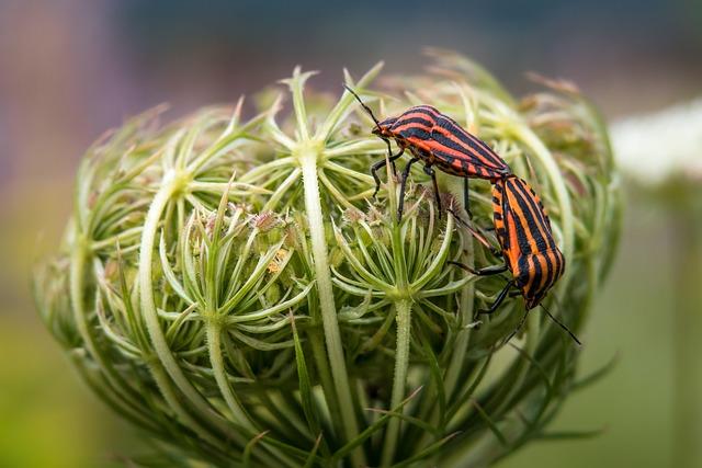 Strip Bug, Pairing, Bug, Feed Carrot, Wild Carrot